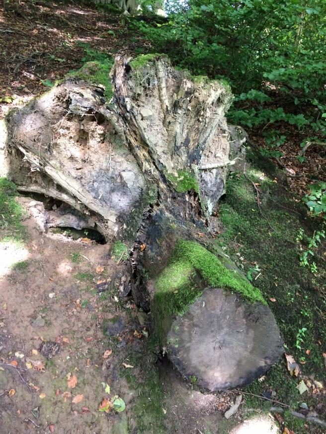 Tree stump fallen